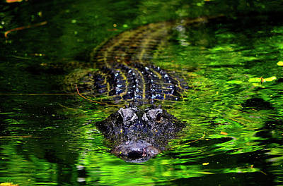 Photograph - Florida Alligator Encounter by Justin Kelefas