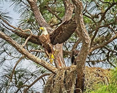 Photograph - Florida Bald Eagle by Ronald Lutz