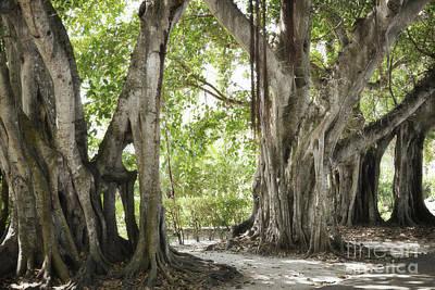 Photograph - Florida Banyan Trees Rustic Landscape by Andrea Hazel Ihlefeld