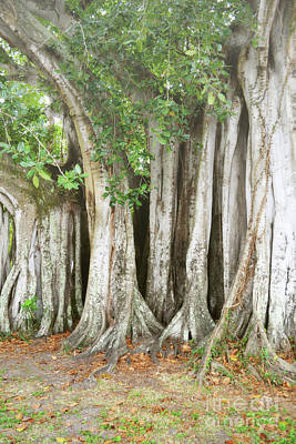 Photograph - Florida Banyan Trees Woodland by Andrea Hazel Ihlefeld