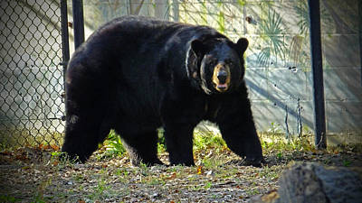 Photograph - Florida Black Bear At Homosassa Springs Wildlife Park by Judy Wanamaker