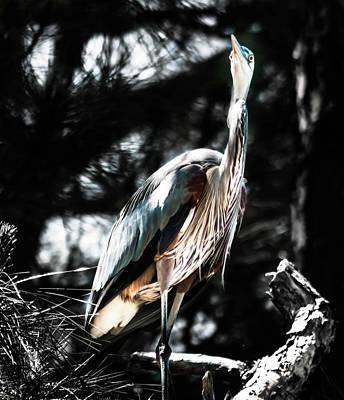 Photograph - Florida Blue Heron  by Debra Forand