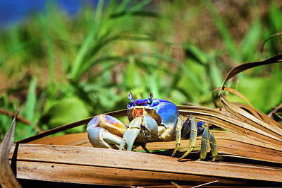 Photograph - Florida Blue Land Crab by Mark Andrew Thomas