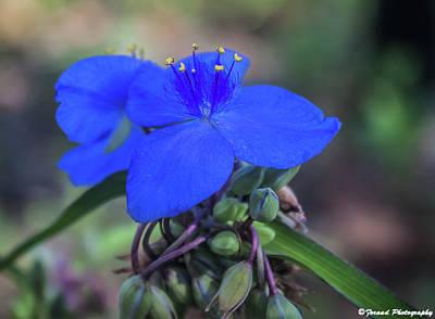 Photograph - Florida Blue Spiderworts by Debra Forand