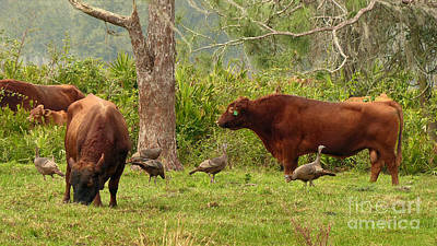 Florida Cracker Cows And Osceola Turkeys #2 Art Print by Teresa A and Preston S Cole Photography
