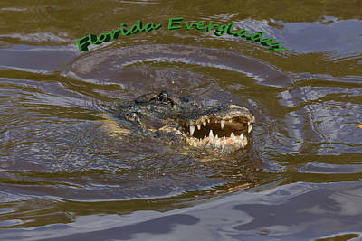 Photograph - Florida Everglades - Alligator by Christopher L Thomley