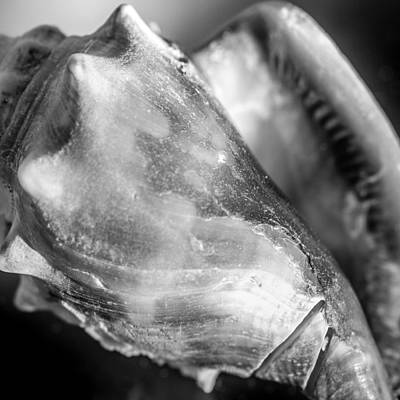 Photograph - Florida Fighting Conch B/w V2 by Heidi Hermes