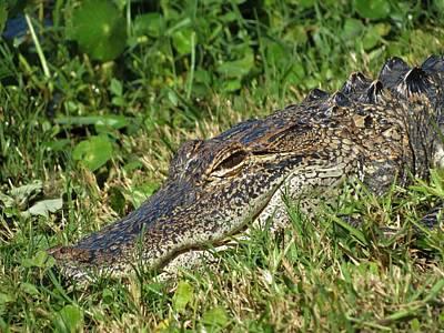 Florida Gator Print by Duff DeVaul