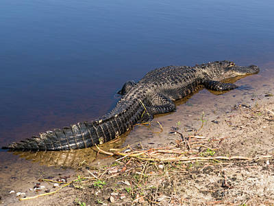 Alligator Photograph - Florida Gator by Zina Stromberg