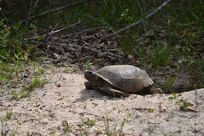 Photograph - Florida Gopher Tortoise by rd Erickson