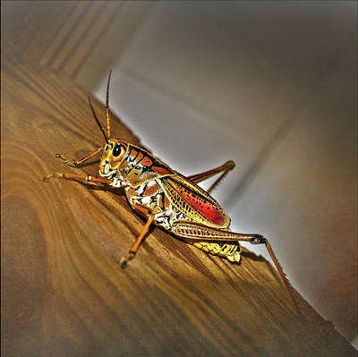 Photograph - Florida Grasshopper by Judy Hall-Folde