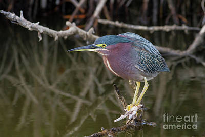 Photograph - Florida Green Heron by David Cutts