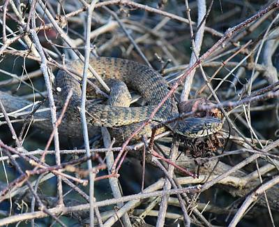 Photograph - Florida Green Water Snake by rd Erickson