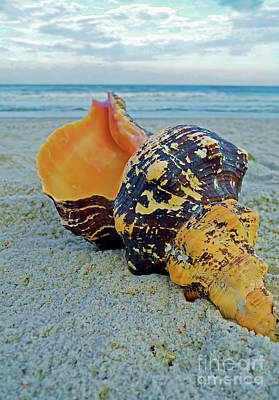 Photograph - Florida Horse Conch On Fernandina Beach  by D Hackett