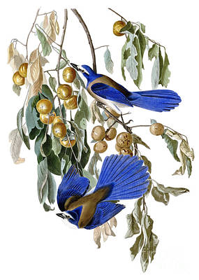 Persimmon Painting - Florida Jay And Wild Persimmon Tree by Pg Reproductions