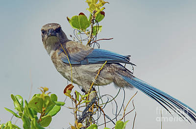 Photograph - Florida Juvie Scrub Jay by Larry Nieland