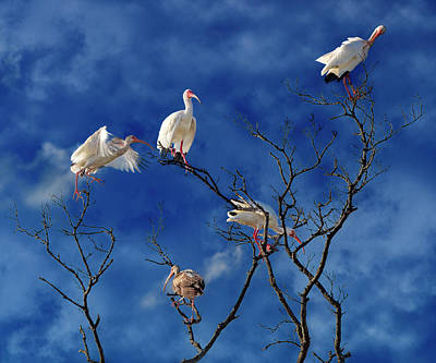Ibis Photograph - Florida Keys The Exaggerated Ibis by Betsy Knapp