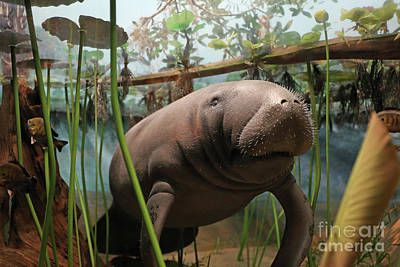 Photograph - Florida Manatee Diorama by Kevin McCarthy