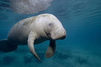 Photograph - Florida Manatee In The Crystal River Area by Stephen Frink