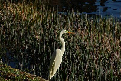 Photograph - Florida Marshland Egret by Denise Mazzocco