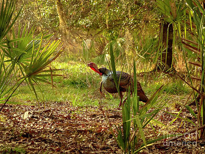 Florida Osceola Turkey #4 Art Print by Teresa A and Preston S Cole Photography