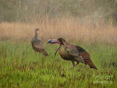 Florida Osceola Turkeys #2 Art Print by Teresa A and Preston S Cole Photography