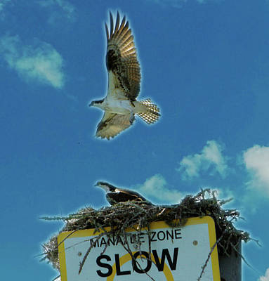 Photograph - Florida Osprey Vamily by Jeff Kurtz