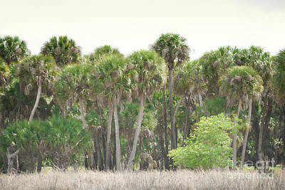 Photograph - Florida Palm Trees Forest Landscape by Andrea Hazel Ihlefeld