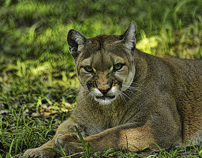 Florida Panther Agitated Art Print by Keith Lovejoy