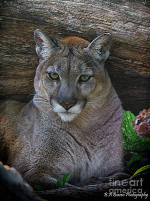 Photograph - Florida Panther by Barbara Bowen