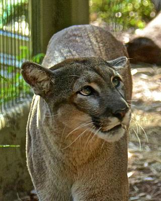 Photograph - Florida Panther by Carol Bradley