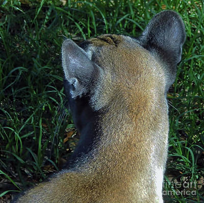Photograph - Florida Panther Cowlick by D Hackett
