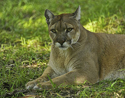 Florida Panther Art Print by Keith Lovejoy