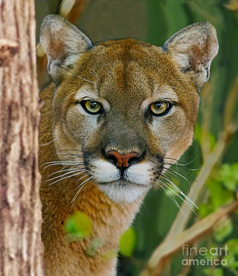 Photograph - Florida Panther by Larry Nieland