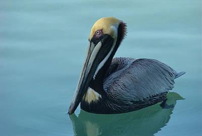 Photograph - Florida Pelican by Jamie Price