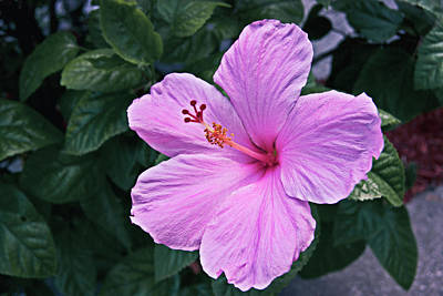 Photograph - Florida Pink Hibiscus by Gene Norris