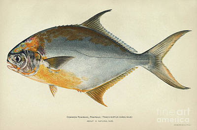 Photograph - Florida Pompano by Granger