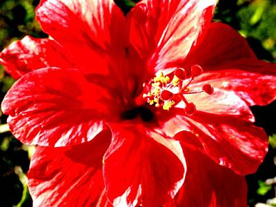 Photograph - Florida Red Hibiscus Beauty by Belinda Lee