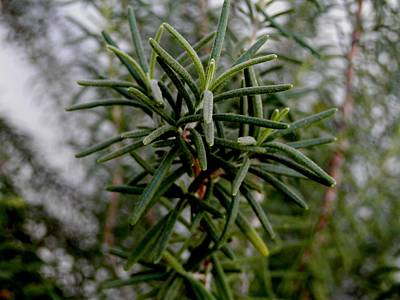 Photograph - Florida Rosemary by Belinda Lee