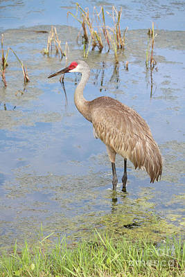 Photograph - Florida Sandhill Crane By Edge Of Pond by Carol Groenen