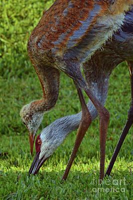 Photograph - Florida Sandhill Cranes by Olga Hamilton
