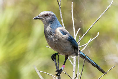 Photograph - Florida Scrub Jay by Arthur Dodd