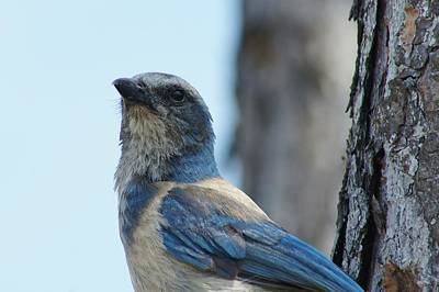 Photograph - Florida Scrub Jay Close Up 2 by Lynda Dawson-Youngclaus