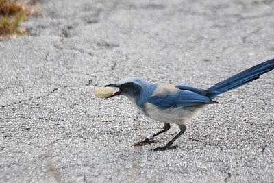 Photograph - Florida Scrub Jay by Dart and Suze Humeston