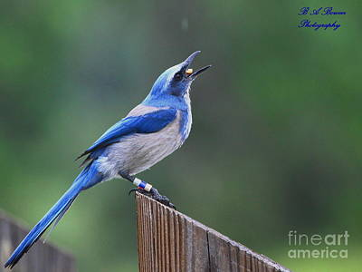 Oscar Scherer State Park Photograph - Florida Scrub Jay Eating by Barbara Bowen