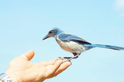 Photograph - Florida Scrub Jay In Hand by Lynda Dawson-Youngclaus