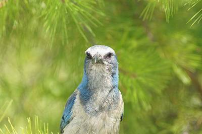 Photograph - Florida Scrub Jay In Pine by Lynda Dawson-Youngclaus
