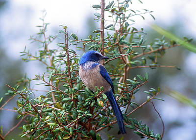 Photograph - Florida Scrub Jay by John Burk