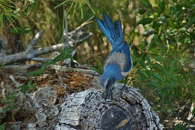 Photograph - Florida Scrub Jay Looks For Bugs by Lynda Dawson-Youngclaus