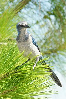 Photograph - Florida Scrub Jay by Lynda Dawson-Youngclaus